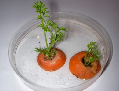 How to Grow Carrots from Carrot Tops?